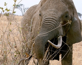 elephant-with-tusks